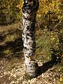 2014-10-05 14 18 40 Aspen with autumn foliage coloration which is in the process of being cut down by beavers along the Changing Canyon Nature Trail in Lamoille Canyon, Nevada.JPG