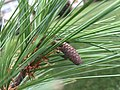 2015-08-07 17 35 49 Eastern White Pine immature cone in the Franklin Farm section of Oak Hill, Virginia.jpg