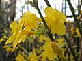 20151128Jasminum nudiflorum x intermedia2.jpg