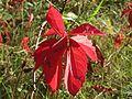 20161002Parthenocissus quinquefolia07.jpg