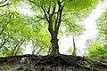 2017-05 South Downs National Park - tree roots.jpg