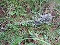 2017-07-15 (147) Hypogymnia physodes (lichen) at Zedlacher Paradies.jpg