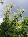 2019-05-02 17 38 45 A Black Locust blooming in a wooded area in the Franklin Farm section of Oak Hill, Fairfax County, Virginia.jpg