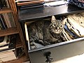 2019-07-12 00 35 59 A tabby cat lying down in a dresser drawer in the Franklin Farm section of Oak Hill, Fairfax County, Virginia.jpg