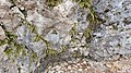 2020-03-01 (126) Asplenium trichomanes (maidenhair spleenwort) at small cave next to Schwabeck's former castle, Texingtal, Austria.jpg