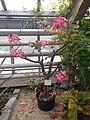 20210605 Hortus botanicus Leiden - Adenium coetaneum.jpg