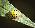 22-spot ladybird (33237589418).jpg