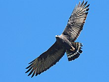 229 - ZONE-TAILED HAWK (4-11-2015) blue haven road, patagonia, santa cruz co, az -02 (16906279787).jpg