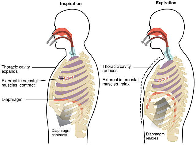 Inandning sker genom att diafragman (mellangärdet) dras samman. Normal utandning sker genom att den töjbara lungvävnaden drar ihop sig igen.