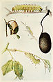25-Indian-Insect-Life - Harold Maxwell-Lefroy - Antheraea-paphia.jpg