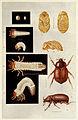 42-Indian-Insect-Life - Harold Maxwell-Lefroy - Phyllognathus-dionysius.jpg