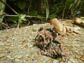 4300Ants of the Philippines Common houseflies 06.jpg