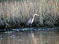 47 Great Blue Heron Bennetts Point RD Green Pond SC 6875 (12397853685).jpg