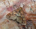 70.256 BF1935 Mottled Umber, Erannis defoliaria (3122536914).jpg