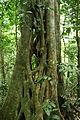 9414-Ficus sp.-Ketambe.JPG