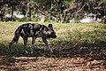 AFRICAN WILD DOG (14007055795).jpg