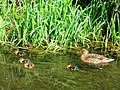 A Mallard Duck and Ducklings on the Wendover Arm - geograph.org.uk - 1311266.jpg