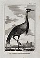 A Numidian crane. Etching with engraving. Wellcome V0022240ER.jpg