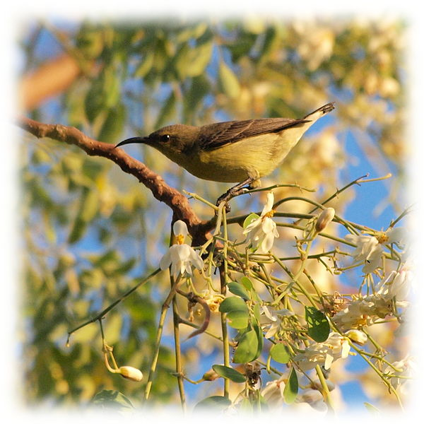 File:A Purple Sunbird Cinnyris Asiaticus Female in Gujarat India.jpg