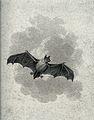 A flying short eared bat. Etching. Wellcome V0020743.jpg