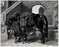 A fully saddled horse with a coat hanging over its saddle an Wellcome V0021799.jpg
