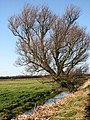 A gnarly tree - geograph.org.uk - 625137.jpg