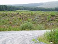 A new generation of forest within the Galloway Forest Park - geograph.org.uk - 535314.jpg