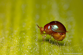 Description de l'image A very minute Beetle fly (Celyphidae) - Singapore.jpg.