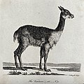 A vicunna. Etching by P. Mazell. Wellcome V0020900.jpg