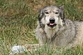 A wolf enjoying ice on a hot day (7583799394).jpg