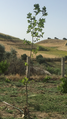 A young Platanus tree.png