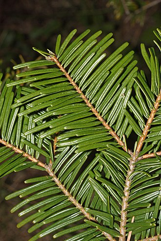 Pinophyta - In Abies grandis (grand fir), and many other species with spirally arranged leaves, leaf bases are twisted to flatten their arrangement and maximize light capture.
