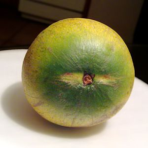 Pouteria caimito - The short-stemmed fruit breaks off cleanly.