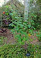 Abutilon pictum - McKee Botanical Garden - Vero Beach, Florida - DSC03040.jpg