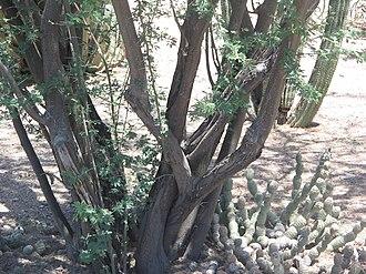 Vachellia farnesiana - Image: Acacia minuta bark