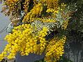 Acacia baileyana2.jpg
