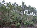 Acacia heterophylla Youngers.jpg
