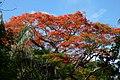 Acacia roja - Flamboyant (Delonix regia) (14342540529).jpg