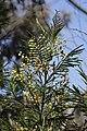 Acacia sp.? (41058041350).jpg