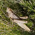 Acanthacris ruficornis - Flickr - gailhampshire (1).jpg