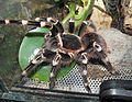Acanthoscurria geniculata - female.jpg