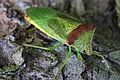 Acanthosoma haemorrhoidale (7858578938).jpg
