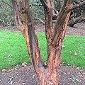 Acer griseum bark Kew.jpg