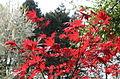 Acer palmatum 'Oshio beni' - JPG5.jpg