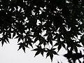 Acer palmatum Klon palmowy 2018-06-10 01.jpg