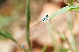 Aciagrion occidentale 02035.jpg