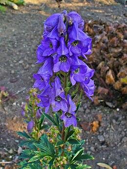 Aconitum carmichaelii var. wilsonii 002