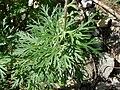 Aconitum napellus leaf (05).jpg