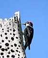 Acorn Woodpecker (18407387246).jpg