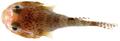 Acyrtus artius - pone.0010676.g159.png